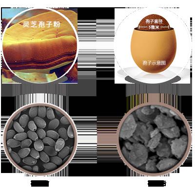 灵芝孢子粉