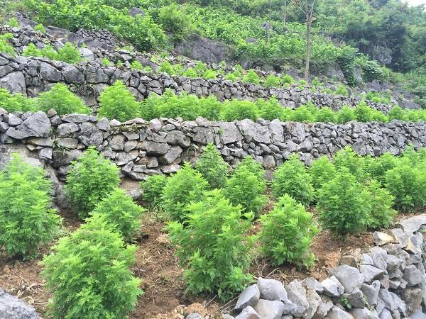石漠化青蒿种植 1.jpg